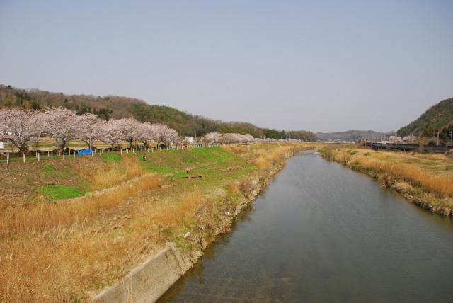 道場_武庫川_桜