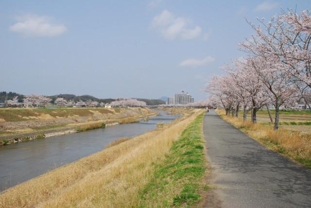 三田_武庫川_堤防_桜