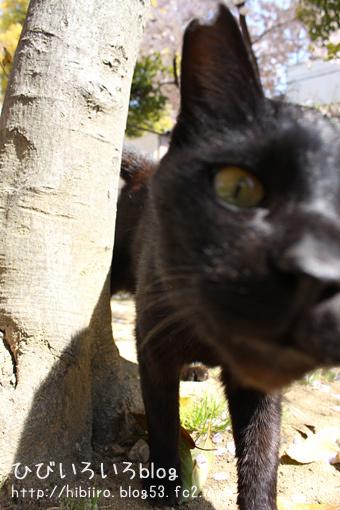 黒猫と桜を・・・