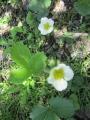 イチゴの花3