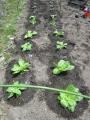 春蒔き白菜
