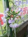 radishes flowers