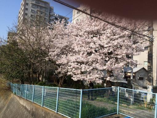 2018年桜3