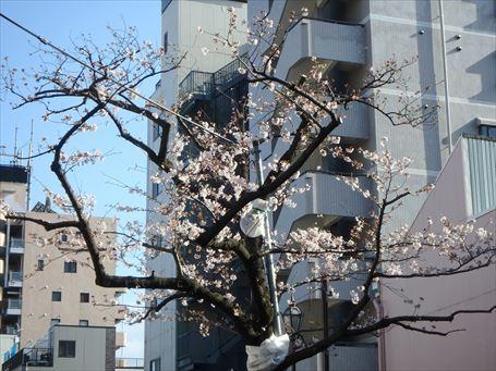 枝が剪定されていた山谷堀公園の桜
