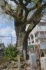 朝臣塚巨樹