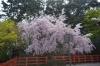建勲神社桜