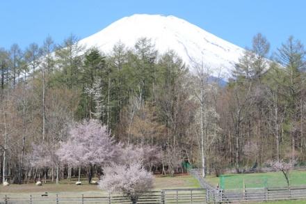 富士山と桜のワフ
