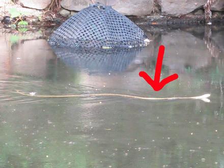 井の頭公園のヘビ
