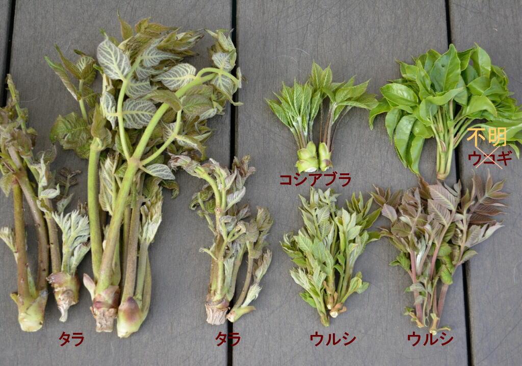 ウコギ科の木の芽