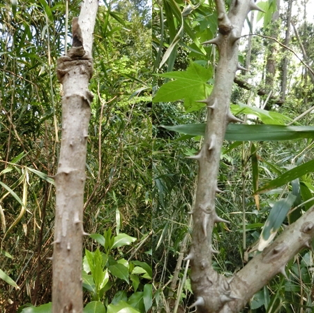 タラノの木とハリギリの木