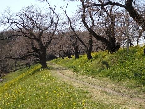 きれぎれの風彩 「北本の桜堤」