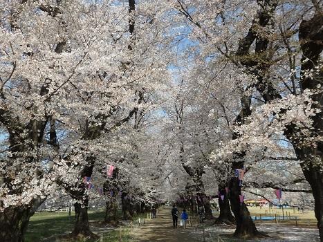 きれぎれの風彩「無線山の桜並木・トラスト地」180410-01