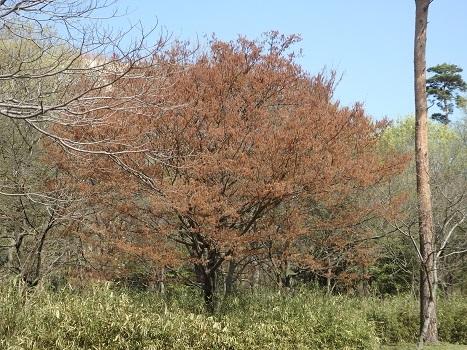 きれぎれの風彩 「アカシデ 花序」3-4