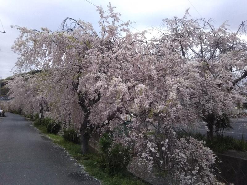 しだれ桜8