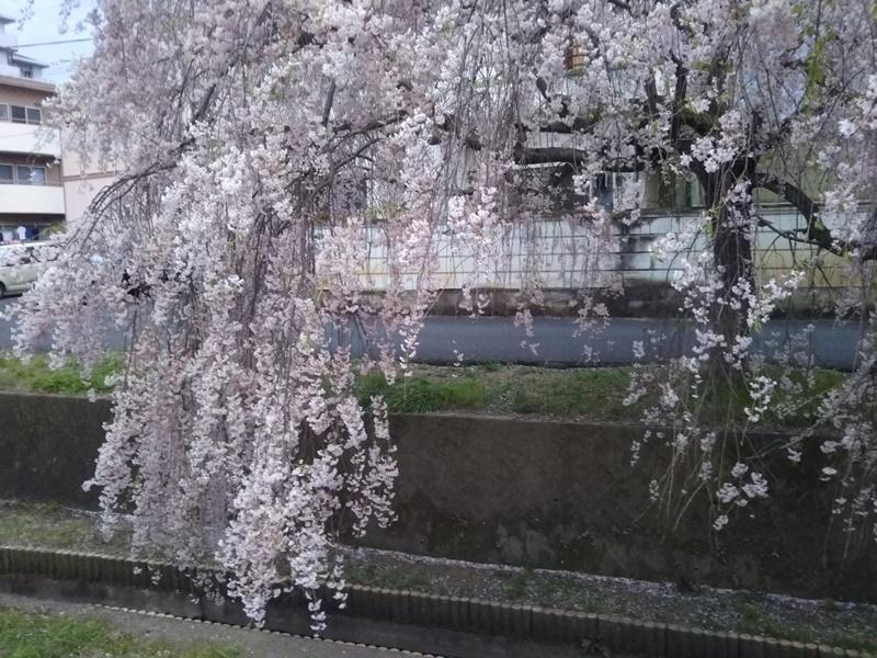 しだれ桜4