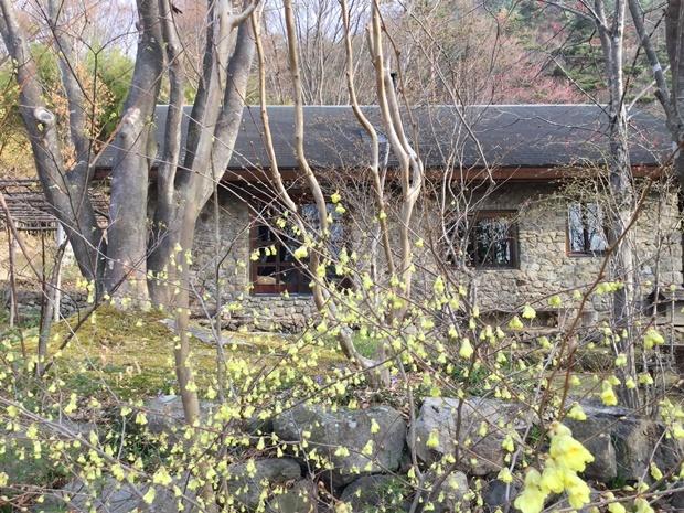 前庭のヒュウガミズキ
