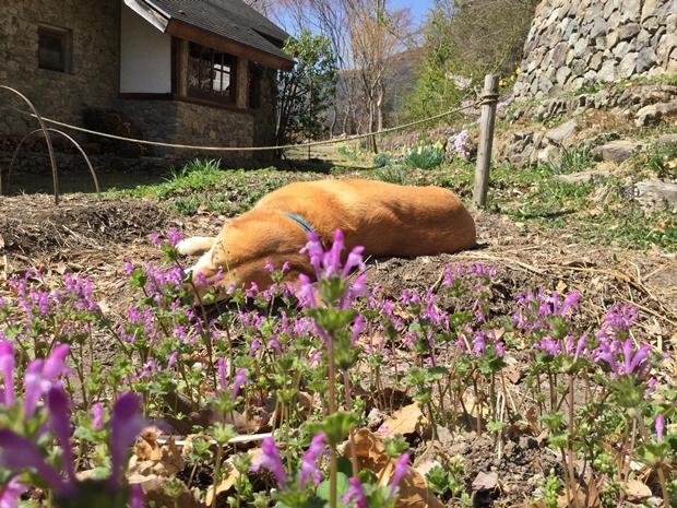 畑のホトケノザと寝る犬