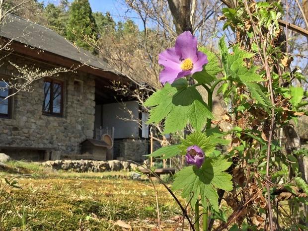 石積みの家に咲くシラネアオイ