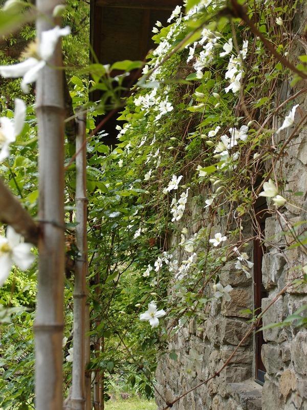 母屋石壁に咲くモンタナスノーフレーク