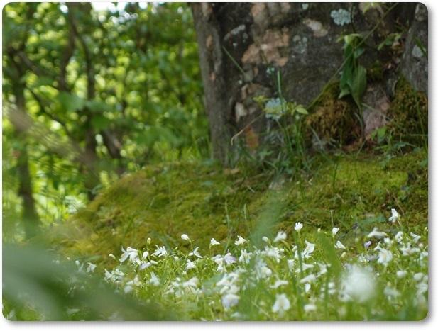 苔の台上のサギゴケ