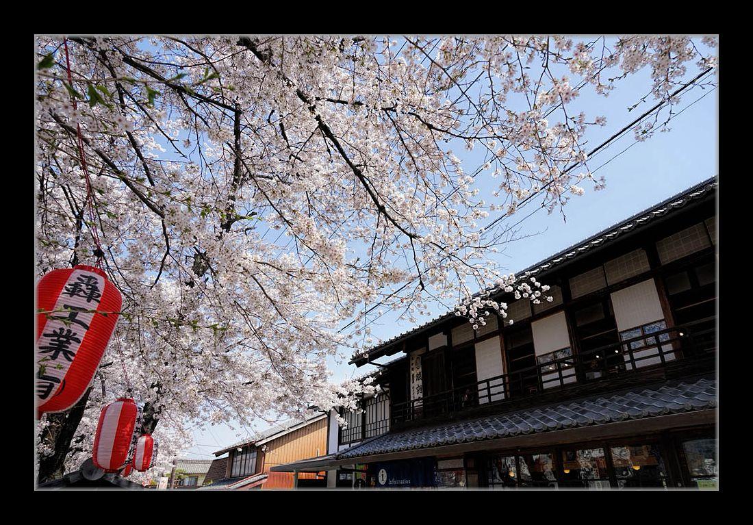 城下町の桜