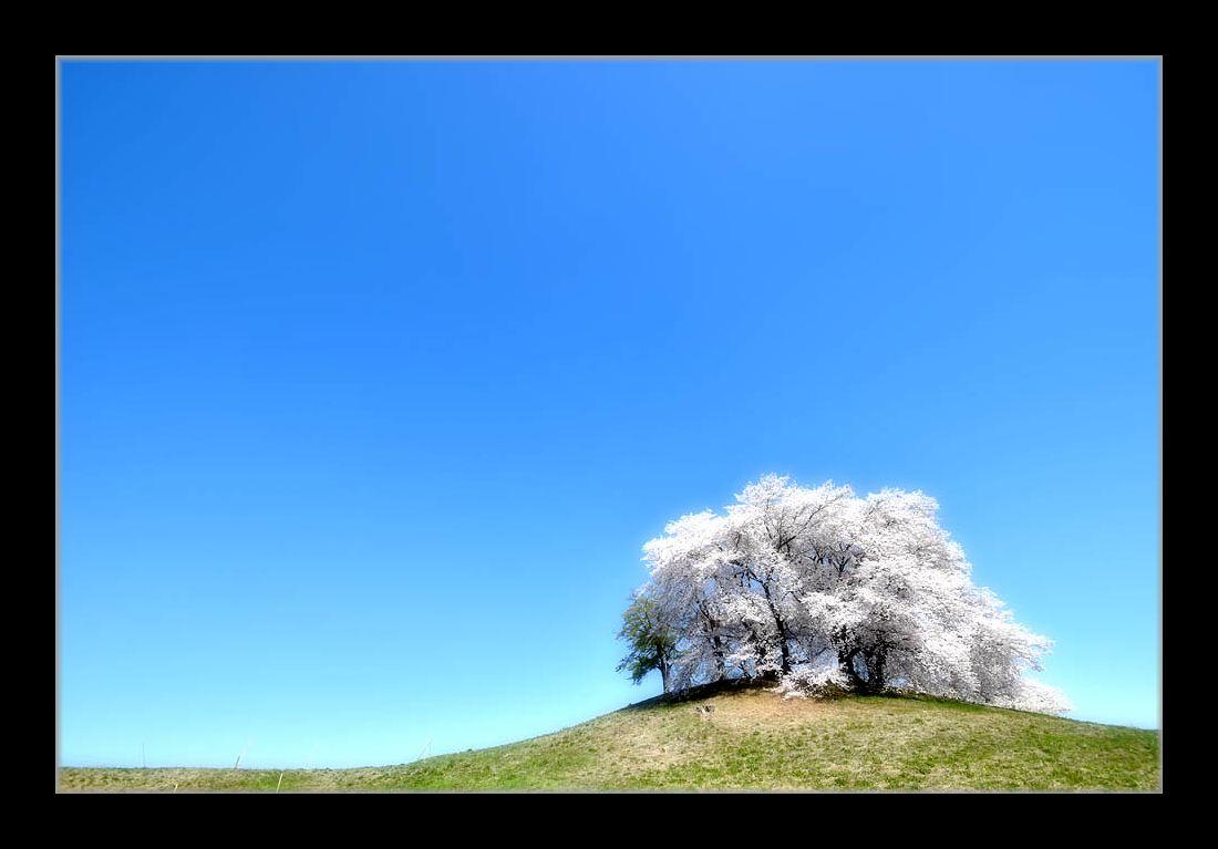 てっぺんの桜1
