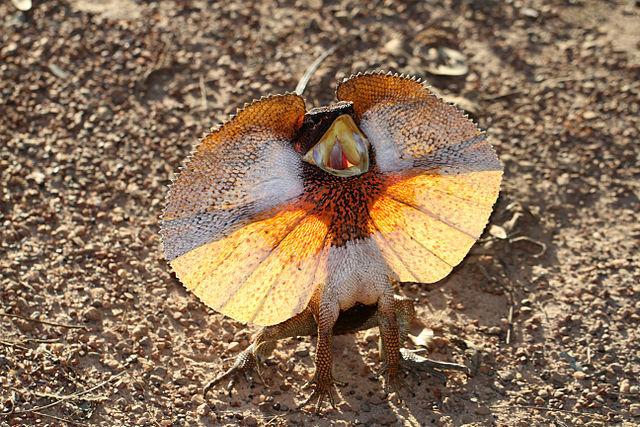 Frill-necked_Lizard.jpg