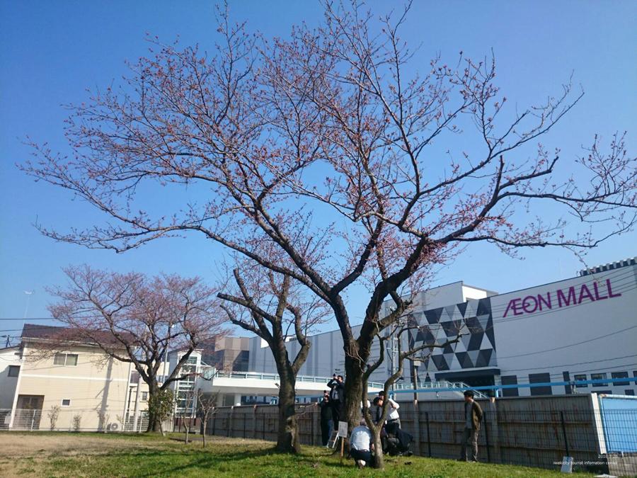 いわき市における桜の開花宣言 [平成30年3月28日(水)更新]1