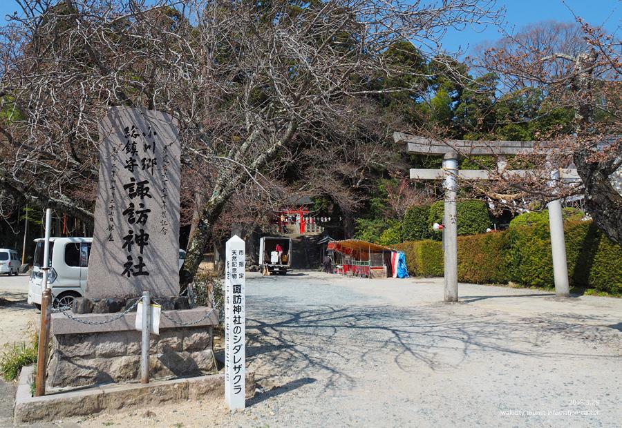 《いわき市桜情報》小川諏訪神社のシダレザクラ 開花しました! [平成30年3月28日(水)更新]1