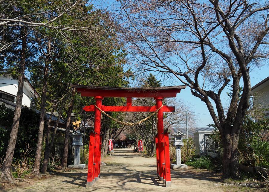 《いわき市桜情報》三島八幡神社のシダレザクラ 咲き始めています! [平成30年3月28日(水)更新]1