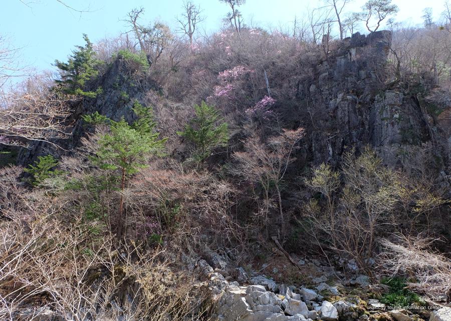 夏井川渓谷 アカヤシオが開花しました! [平成30年3月31日(土)更新]1