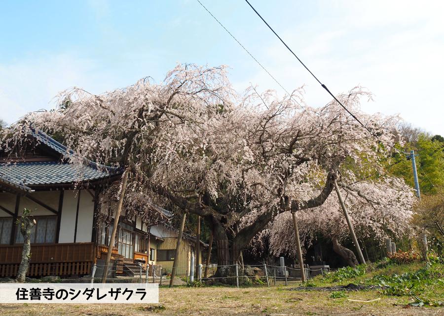 《いわき市桜情報》住善寺のシダレザクラが満開です! [平成30年4月2日(月)更新]1