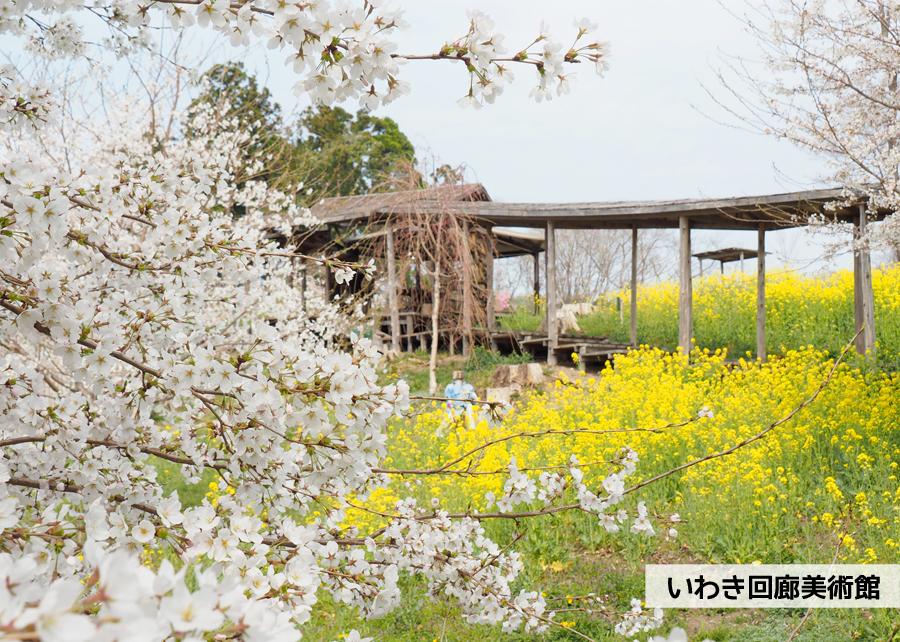 《いわき市桜情報》いわき回廊美術館の桜と菜の花 [平成30年4月2日(月)更新] 1
