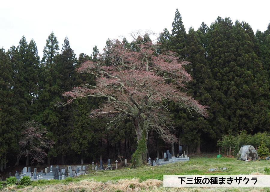 《いわき市桜情報》下三坂の種まきザクラが開花しました! [平成30年4月8日(日)更新]1