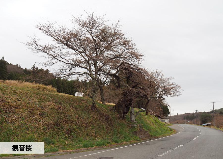 《いわき市桜情報》下三坂の種まきザクラが開花しました! [平成30年4月8日(日)更新]11