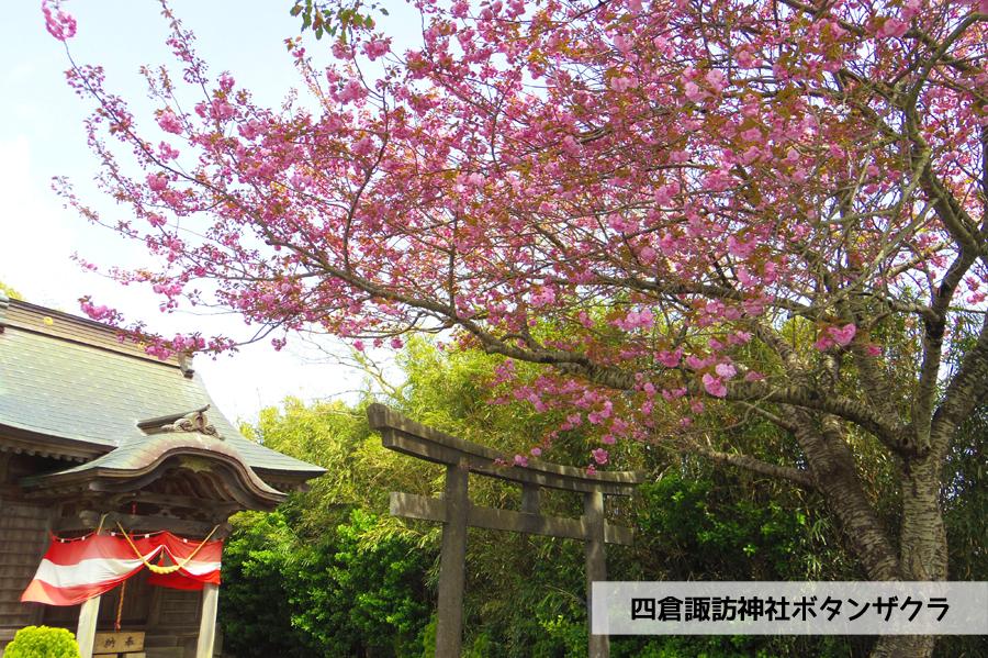 《いわき市桜情報》四倉諏訪神社のボタンザクラとチョウセンボタンが開花しました! [平成30年4月18日(水)更新]1