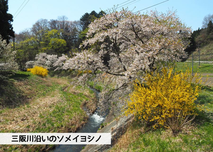 《いわき市桜情報》三阪川のソメイヨシノ [平成30年4月22日(日)更新]1