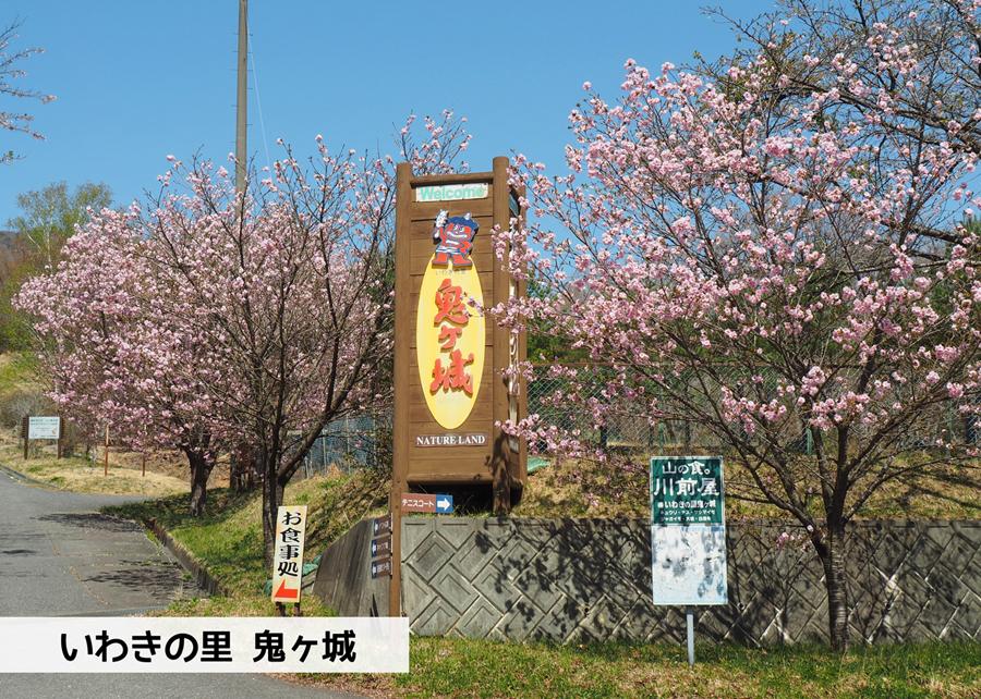 《いわき市桜情報》いわきの里鬼ヶ城の桜 [平成30年4月22日(日)更新]1