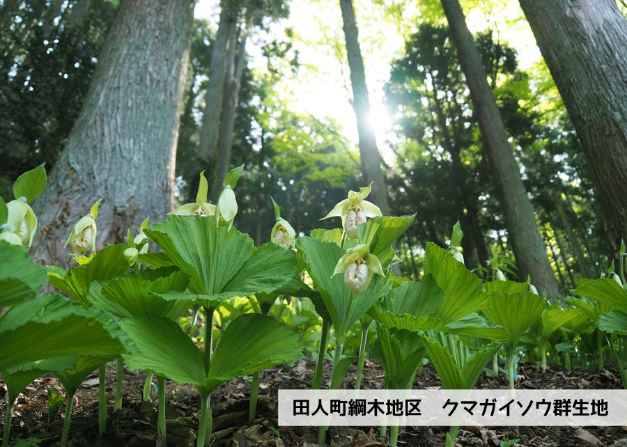 田人町綱木地区のクマガイソウが開花しました! [平成30年4月29日(日)更新]1