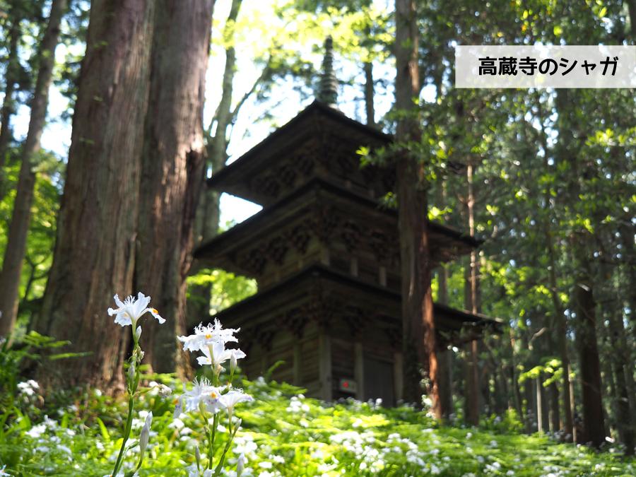 高蔵寺のシャガが見頃です! [平成30年4月30日(月・祝)更新]1