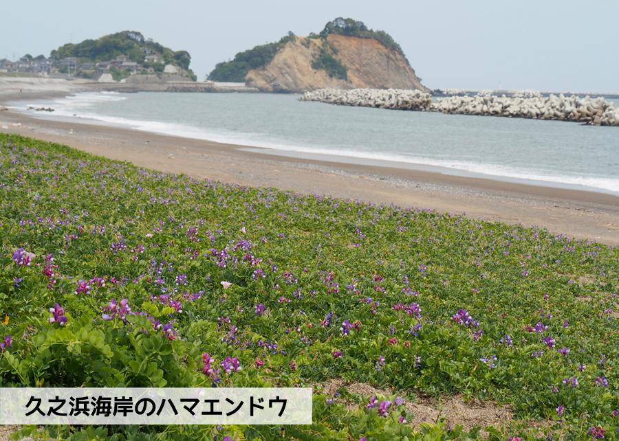 《いわき市花情報》久之浜海岸でハマエンドウ・ハマヒルガオが開花しました♪ [平成30年5月9日(水)更新]1