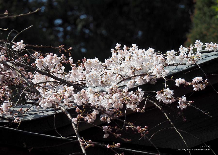 《いわき市桜情報》小川諏訪神社のシダレザクラ 開花しました! [平成30年3月28日(水)更新]10