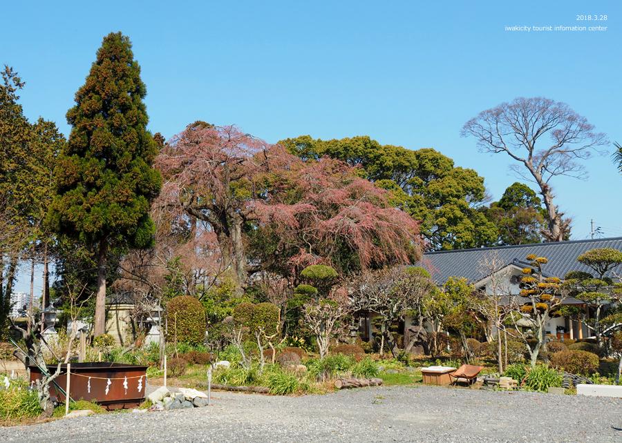 《いわき市桜情報》三島八幡神社のシダレザクラ 咲き始めています! [平成30年3月28日(水)更新]11