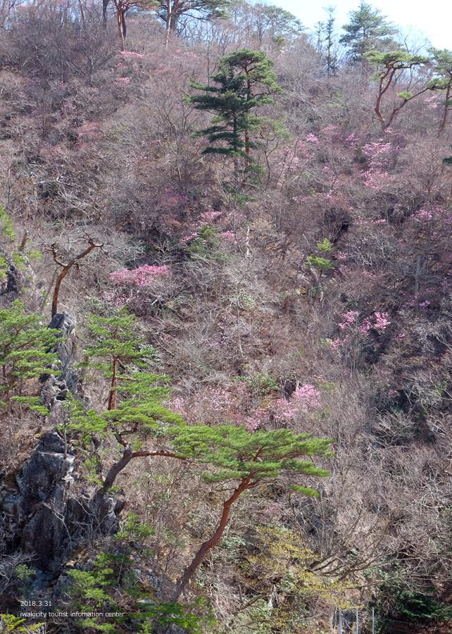 夏井川渓谷 アカヤシオが開花しました! [平成30年3月31日(土)更新]10
