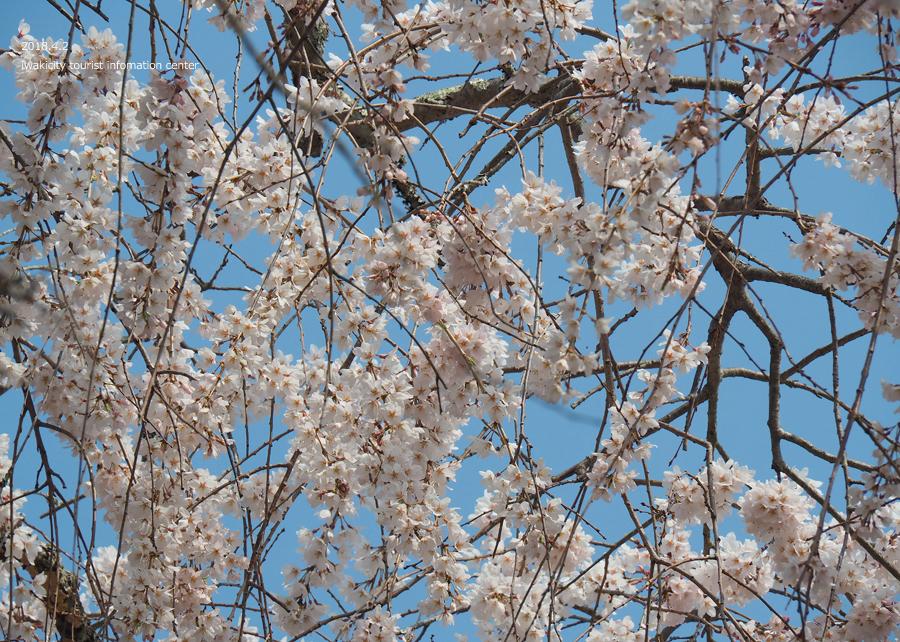 《いわき市桜情報》住善寺のシダレザクラが満開です! [平成30年4月2日(月)更新]10