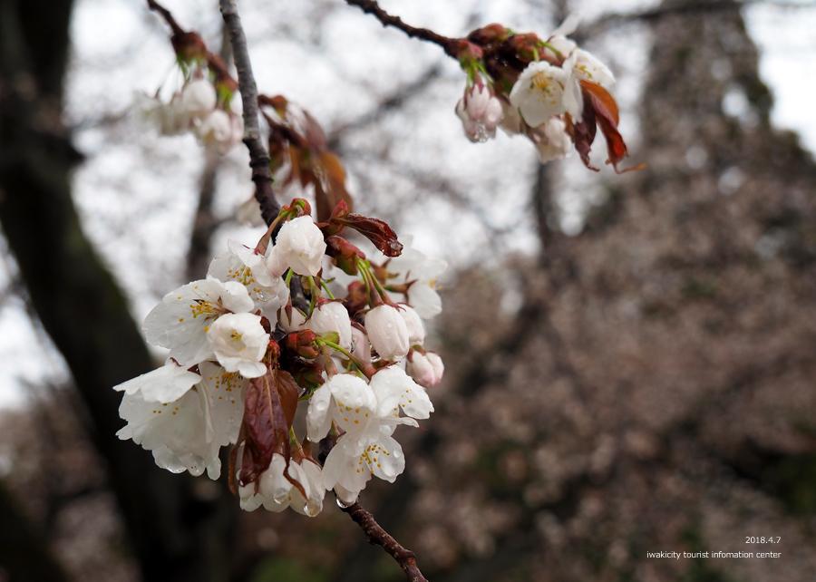 《いわき市桜情報》田人の石割桜がほぼ見頃です!! [平成30年4月8日(日)更新]10