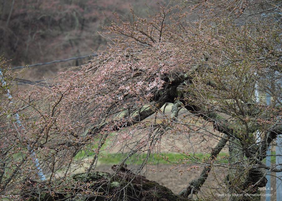《いわき市桜情報》下三坂の種まきザクラが開花しました! [平成30年4月8日(日)更新]20