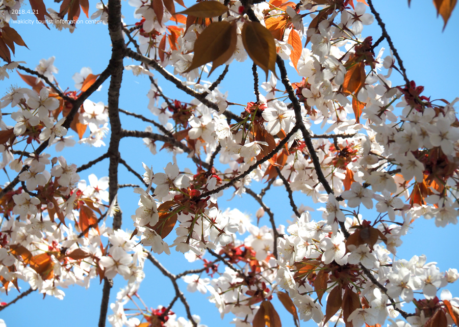 《いわき市桜情報》新田の大山桜が満開です!! [平成30年4月22日(日)更新]10