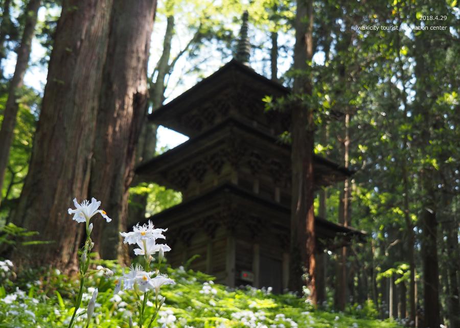 高蔵寺のシャガが見頃です! [平成30年4月30日(月・祝)更新]8