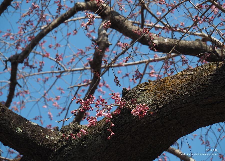 《いわき市桜情報》三島八幡神社のシダレザクラ 咲き始めています! [平成30年3月28日(水)更新]12